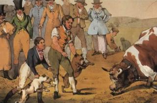 combat bouledogue contre taureau