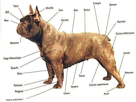 morphologie du bouledog