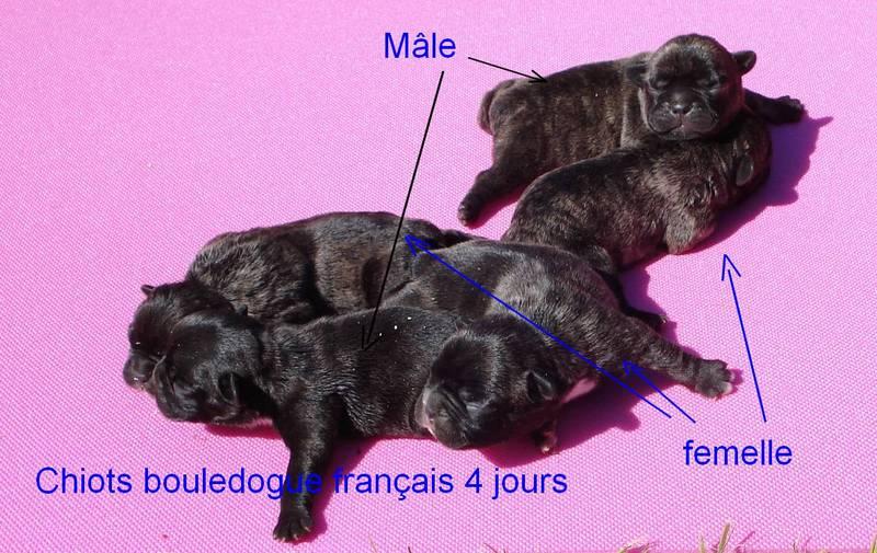 chiot bouledogue français de l'élevage