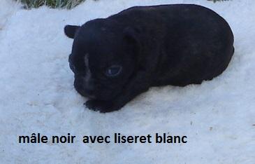 bb bouledogue fr