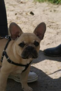 PHOTO MOKA BOULEDOGUE FRAN9AIS FAUVE