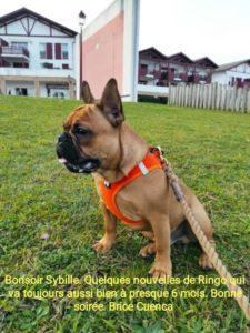 Bonjour Sybille, quelques nouvelles de Ringo qui va toujours aussi bien a presque 6 mois. Bonne soirée. Brice Cuenca